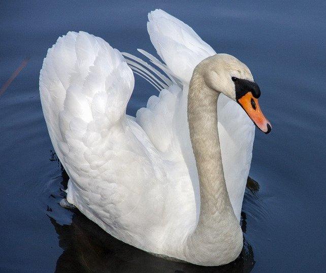 swan-319379_960_720(1)